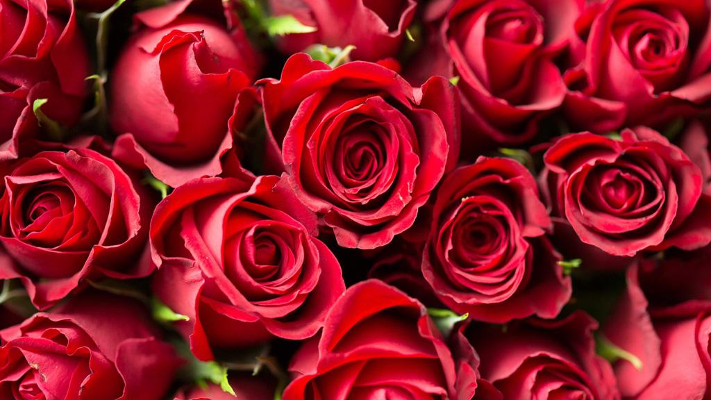 Rote Rosen, ein geschenk-tipp von Magali